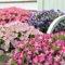 5つのポイントをチェック!サフィニアをより美しく、豪華に咲かせましょう♪